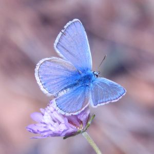 blue butterfly on lilac flower