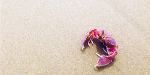 pink crab on the sand