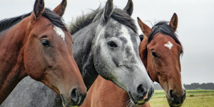 3 horses faces