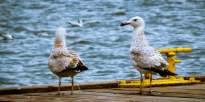 Seagulls photo
